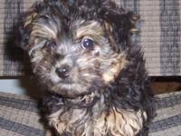 Cute little Yorkie-Poo, ready to go. Has had first