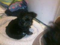 super cute yorkie poo puppy his dad is akc reg yorkie