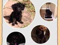 19 week female black yorkiepoo. Vetted up, tail docked,