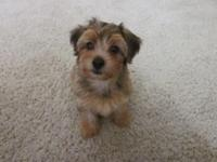 Yorkie-Poo puppy up for adoption. small female. female
