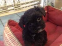 I am looking for a yorkie poo puppy for my wife around