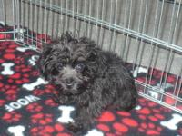 I currently have one female yorkie-Poo puppy(TEACUP