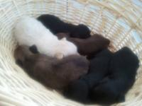 We just had a litter of Shorkie Pups - These are