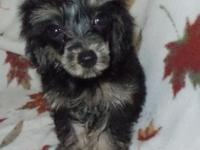 Yorkie poo puppies.  Born in May.  Very