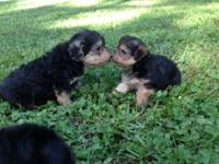 Adorable Yorkie poo pups. Ready in a few weeks. One