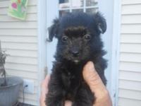 7 week old yorkie-poo. mom is reg poodle 7lbs,dad is