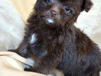 Cute as can be little Yorki Poo's. Mother is a toy