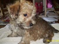 I have 2 beautiful yorkie/Poo puppies, I am selling for