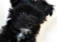Yorki Poo's are very sweet playful little fur balls...
