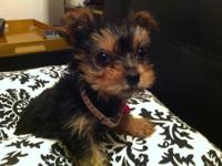 Sweet toy yorkie poo's 4 sale. They are hypoallergenic