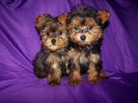 Check out these beautiful little Yorkie Poo's, they was