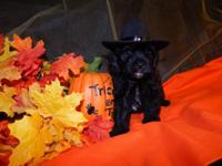 Yorkie Poo puppies. DOB 8/12/15. Tri colored (black,
