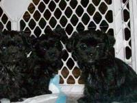 I have 1 male Shorkies born March 26 all black $350. I