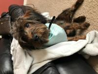 Fun loving Yorkie Poo a year old .  Free to a good