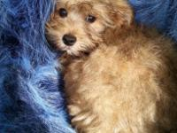 Yorkie Poo Crystal is a charming and really sweet