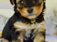 Tiny toy Yorkie Poo puppies available May 20th.