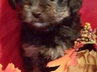 I have 1 male 1 female yorkie poo born on 9/13/15.will