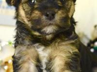 Yorkie Poo puppies available May 20th. Non-Shedding