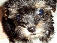 Yorkie-Poo ( Yorkshire Terrier / Toy Poodle ) Males,