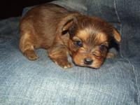 Yorkie-poo female her Dob April 28 she will be 8 weeks