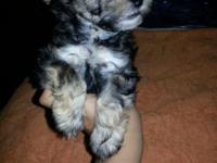 We have 1 lovely male Yorkie-Poo left. He is 8-weeks