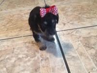 I have a Yorki/poodle,ready for new home for