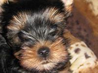 Non sheeding designer breed Come meet your new family