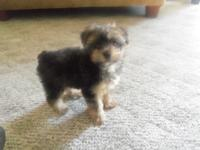 Yorkie poos . Will be 9 weeks old this friday 7/24