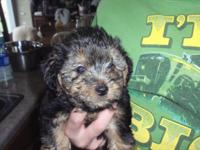 Beautiful little Yorkie-poos!!! Mom is a 10 pound