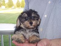 I am looking for love,I am a cute cute yorkie-poo born