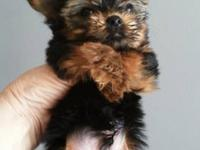 Yorkie pup 1 tiny teacup male for $600. AKC 9 wks. of