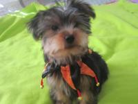 Beautiful Yorkie pup..11 weeks old..nice thick