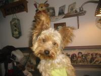 Yorkie pup 10 month old,Vet checked,