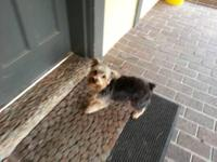 We have a wonderful male Yorkie for sale, he is a sweet