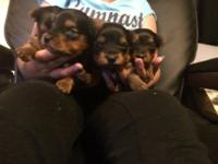I have four baby yorkies full bred available. One