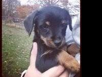 One sweet male puppy left needs home. Approx 12 weeks