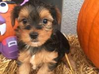 YORKIE PUPPIES BORN SEPT 4 2015. WE ARE LOOKING FOR A