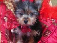 We have several gorgeous Yorkie puppies ready for their