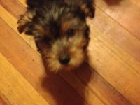 Have 3 males and 1 female yorkies for sale first three