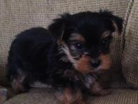 Beautiful AKC Yorkshire Terrier puppies! Born 2/8/14