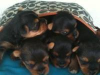We have a litter of drop dead gorgeous AKC Yorkie