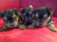 Stunning AKC huge Yorkshire Terrier puppies! Born