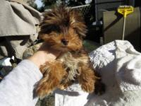 Chocolate & tan Yorkie puppies are still available. Our