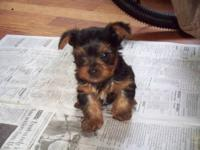 We have drop dead gorgeous AKC Yorkie puppies that were
