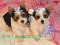 AKC PARTY YORKIE PUPPIES BORN 8-13-2014. WE HAVE 2