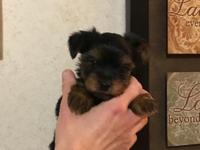We have 3 Yorkie puppies available to go to there new