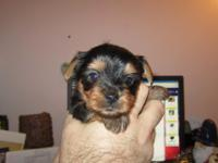 We have 5 week old yorkie babies 4 males. I have both