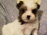 Beautiful tinyYorkie Puppies. Rare