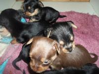 yorkie puppys, PUREBREED, ckc reg., SMALL, ready