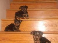 Currently have two litters of yorkie puppies! One